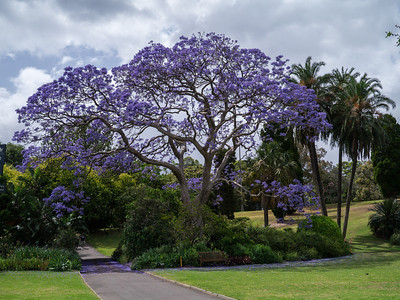 Jacaranda purple tree