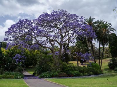 Jacaranda purple tree