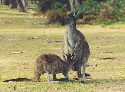 Wild kangaroos, National Park
