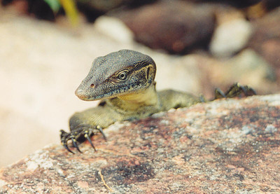 Water Monitor, Litchfield National Park