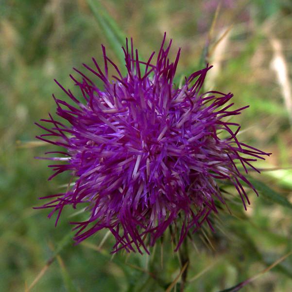 Flower, Mt. Judah trail