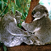 020 Lone Pine Sanctuary, Brisbane