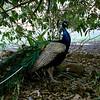 035 Lone Pine Sanctuary, Brisbane
