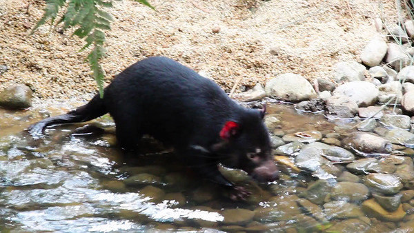 A young Tasmanian Devil plays with a rock in a creek.