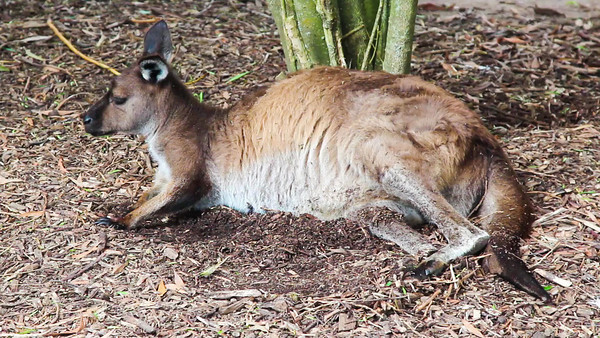 A kangaroo relaxes in the shade at Healesville Sanctuary.