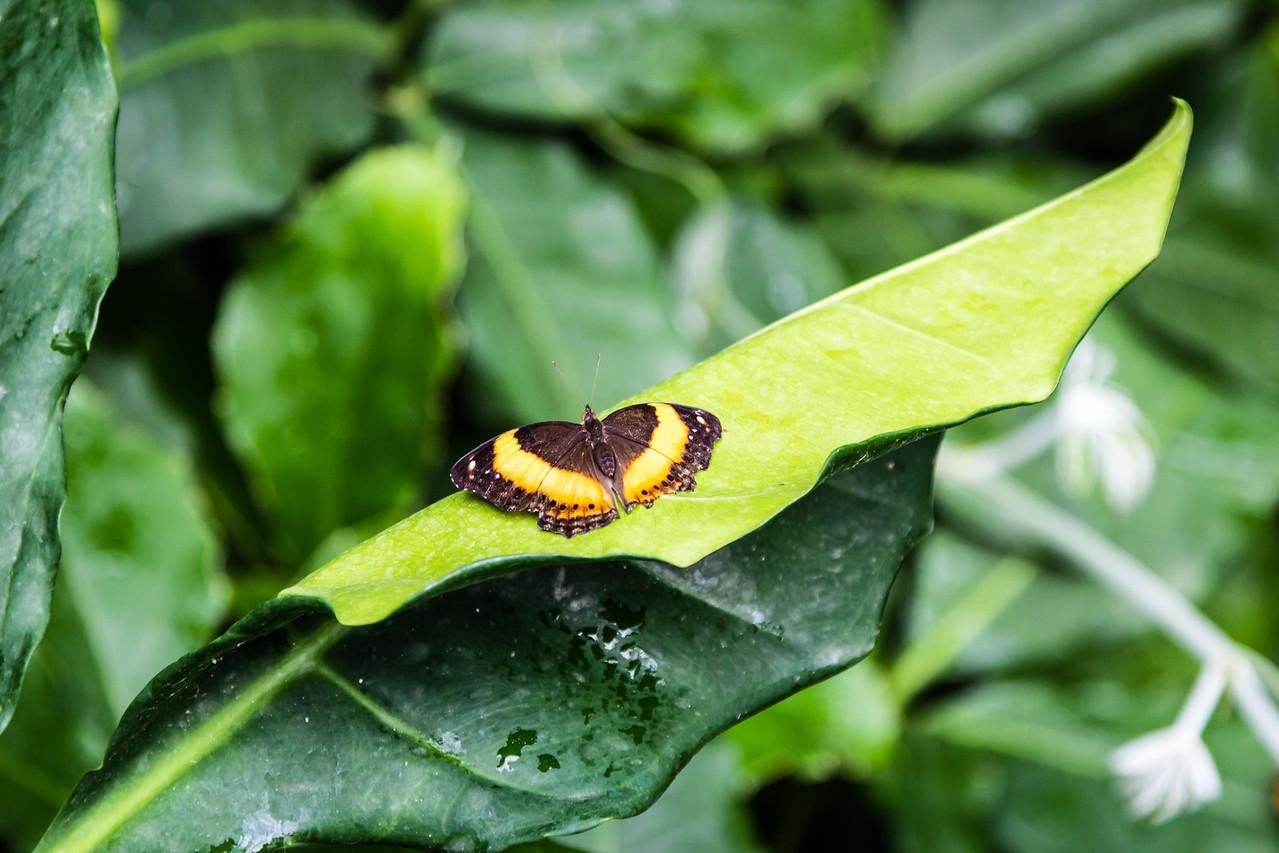 Australian lurcher butterfly from above