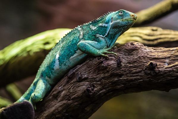 Fijian crested iguana