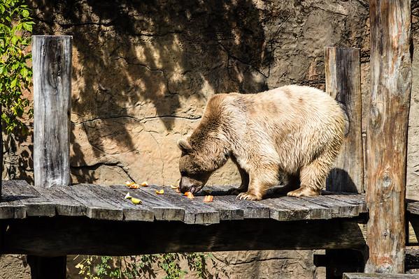 Brown bear eating fruit