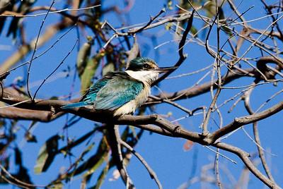 Sacred Kingfisher