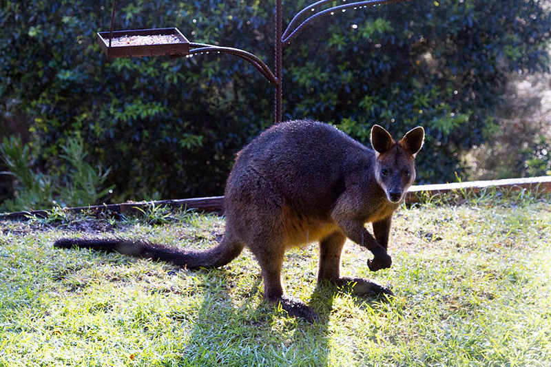 native wallaby australia