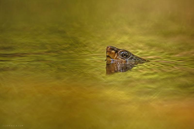 Saw-shelled Turtle (Myuchelys latisternum)