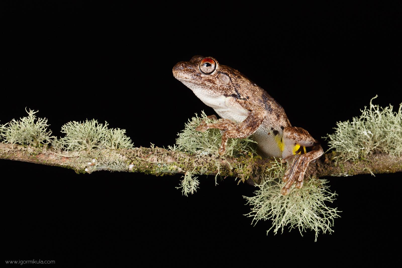 Roth's Tree Frog (Litoria rothi)