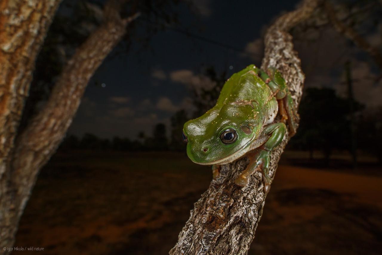 Common Green Treefrog ( Litoria caerulea )