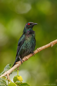 The metallic starling (Aplonis metallica)