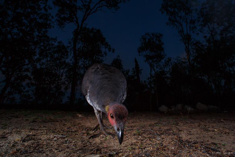 Australian brush-turkey (Alectura lathami)