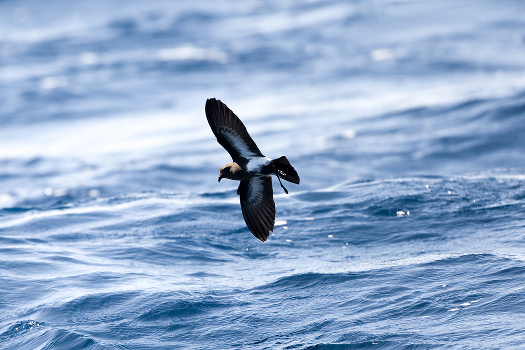 Black-bellied Storm Petrel