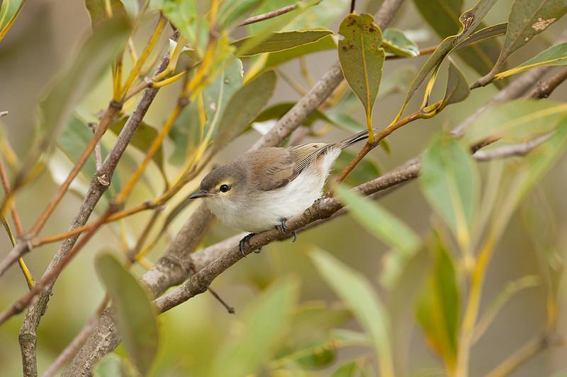 Mangrove Gerygone
