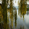 Peeking through the willows