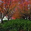 Canberra autumn colours