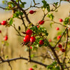 Rose hip, the fruit of the rose