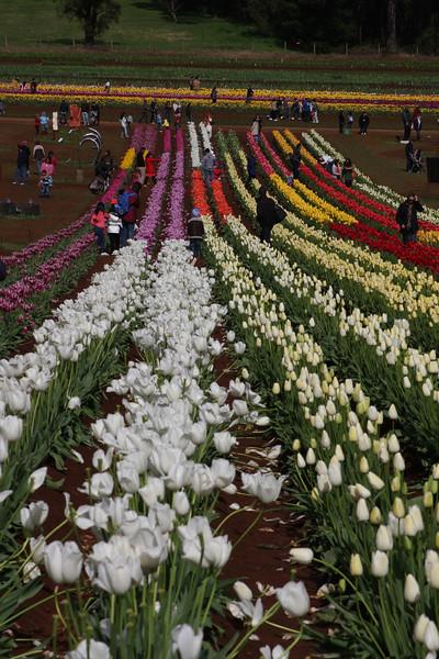Tulip Festival 30-09-2012