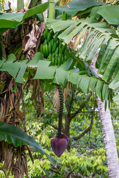 Banana tree in tropical fruit farmstay, Cape Tribulation, Daintree National Park, Australia