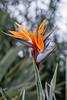 Bird of Paradise tropical flower, Royal Botanic Gardens, Melbourne, Australia