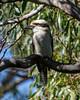 Laughing Kookaburra, Phillip Island, Australia