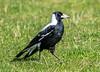 Australian Magpie, Phillip Island, Australia