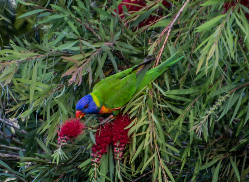 Rainbow Lorikeet, Cairns, Australia. This may be the subspecies Swainson's Lorikeet, as this species is in the Cape York Peninsula and Cairns is at the foot of this peninsula.