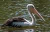 Australian Pelican, Cairns Botanical Gardens, Cairns, Australia
