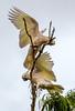 Sulphur-crested Cockatoo, Cairns, Australia