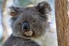 Koala Bear, Phillip Island, Australia