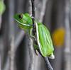White-Lipped Green Tree Frog, Daintree National Park, Queensland, Australia