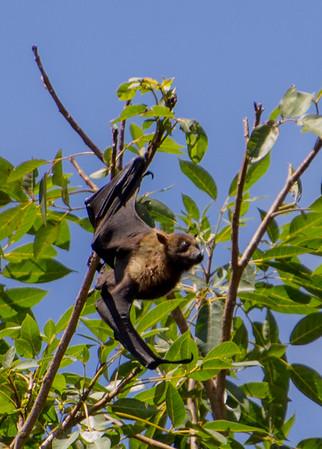 Fruit Bat (wild), Fiji