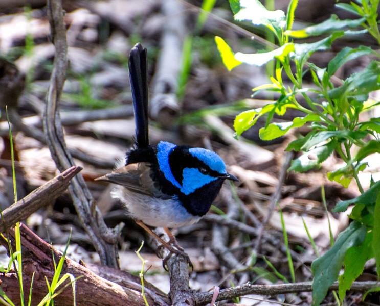 Male Superb Fairywren, also known as the Superb Blue-wren or colloquially as the Blue Wren, Phillip Island, Australia
