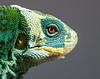 Fiji Banded Iguana (captive), Fiji
