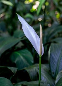 Spathiphyllum, Cairns Botanical Gardens, Cairns, Australia