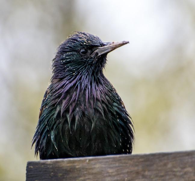 Common Starling, Mornington, Australia