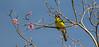 Australasian Figbird, Port Douglas, Australia