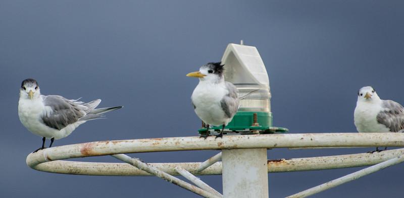 Little Terns, Port Douglas, Australia