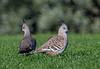 Crested Pigeons, Melbourne, Australia