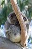 Koala Bear, Phillip Island, Australia.