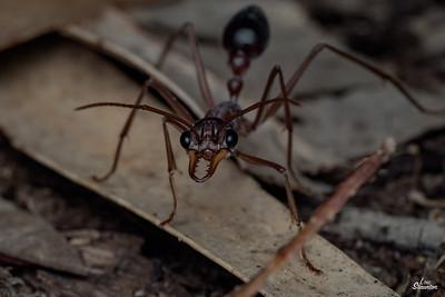 Bull Ant, Western Australia