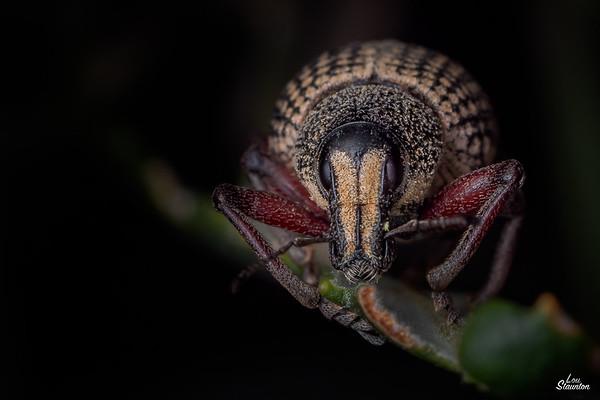 Weevil, Western Australia
