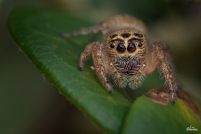 Cyclops Jumping Spider, Western Australia