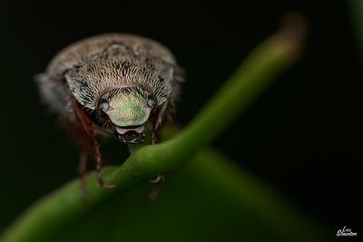 Beetle, Western Australia