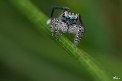 Maratus Jumping Spider, Western Australia