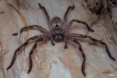 Huntsman Spider, Western Australia