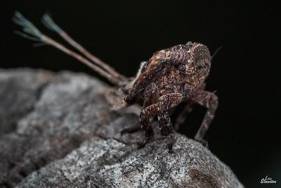 Planthopper nymph , Western Australia